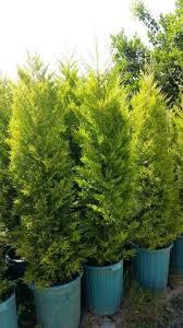 گیاه کاج لاوسون