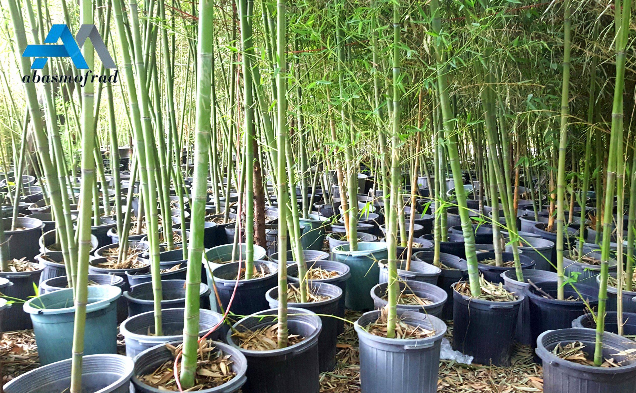فروش بامبو خیزران